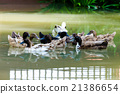 Ducks swimming on lake surface 21386654