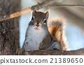 Close up of cute animal, Red Squirrel on a branch. 21389650