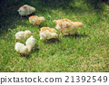 Cute Babies Chicken on nature background 21392549