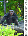 Chimpanzee 21404561