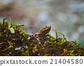 brown frog 21404580
