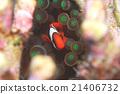 小丑魚 魚 沖繩 21406732