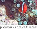 小丑魚 父母和小孩 親子 21406740