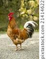 gokaminiwatori, chickens, chicken 21414622