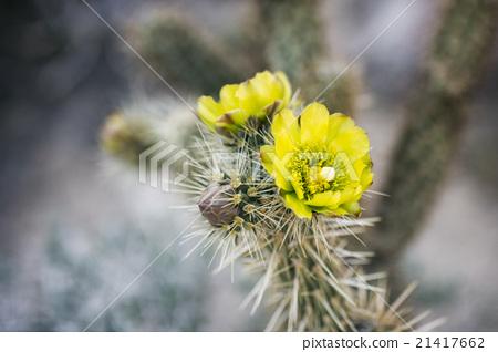 Desert Plant in Anza-Borrego State Park, USA 21417662