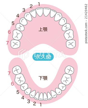 Tine Dentition Permanent Tooth Teeth Stock Illustration