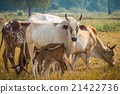 Calf suckling cows in pasture 21422736