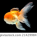 Gold fish. Isolation on the black 21429984