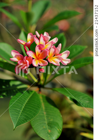 巴厘島花雞蛋花(赤素馨花) 21437152
