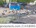 duck farm in Thailand 21438065