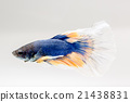 Blue and yellow  siamese fighting fish 21438831