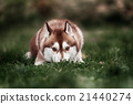 Siberian husky dog outdoors 21440274