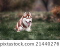 Siberian husky dog outdoors 21440276