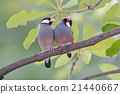 Java sparrow Java finch Birds of Thailand 21440667