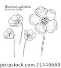 Anemone sylvestris flowerrs sketches set 21440669