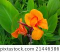 orange, botanic, botanical 21446386