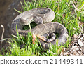 Northern Pacific Rattlesnake 21449341