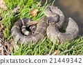 Northern Pacific Rattlesnake 21449342