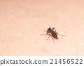 Aedes mosquito 21456522
