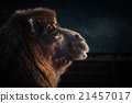 Close-up of a camels head 21457017