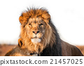 Two lions togenther on the savannah 21457025