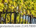 Vineyard in Italy 21457899
