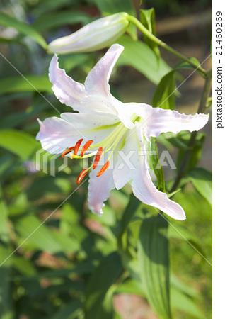 백합 꽃 마르코 폴로 21460269
