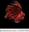 Betta fish 21463789