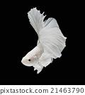 Betta fish 21463790