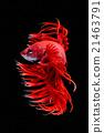 Betta fish 21463791