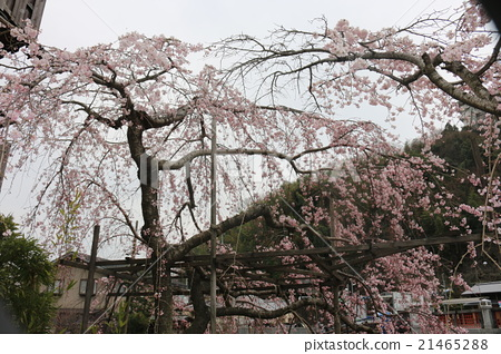 Weeping cherry 21465288