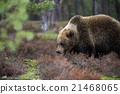 wild, animal, forest 21468065
