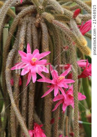Pimp cactus 21468925