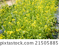 rape flower field 21505885