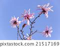 star, magnolia, stellata 21517169