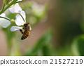 daikon flower bloom 21527219