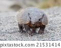 armadillo, wildlife, animal 21531414