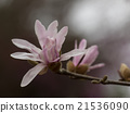 star, magnolia, stellata 21536090