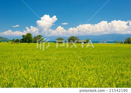 Idyllic asian rice fields landscape 21542190
