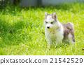 Puppy siberian husky 21542529