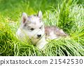 Puppy siberian husky 21542530
