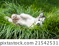 Puppy siberian husky 21542531