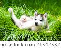 Puppy siberian husky 21542532