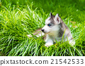 Puppy siberian husky 21542533
