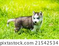 Puppy siberian husky 21542534