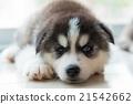 Siberian puppy 21542662
