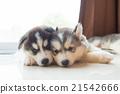 Siberian puppy 21542666