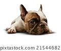 Dog Lying Down 21544682