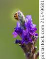 Asian Ladybug or ladybird beetle 21549681
