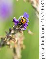 Asian Ladybug or ladybird beetle 21549684